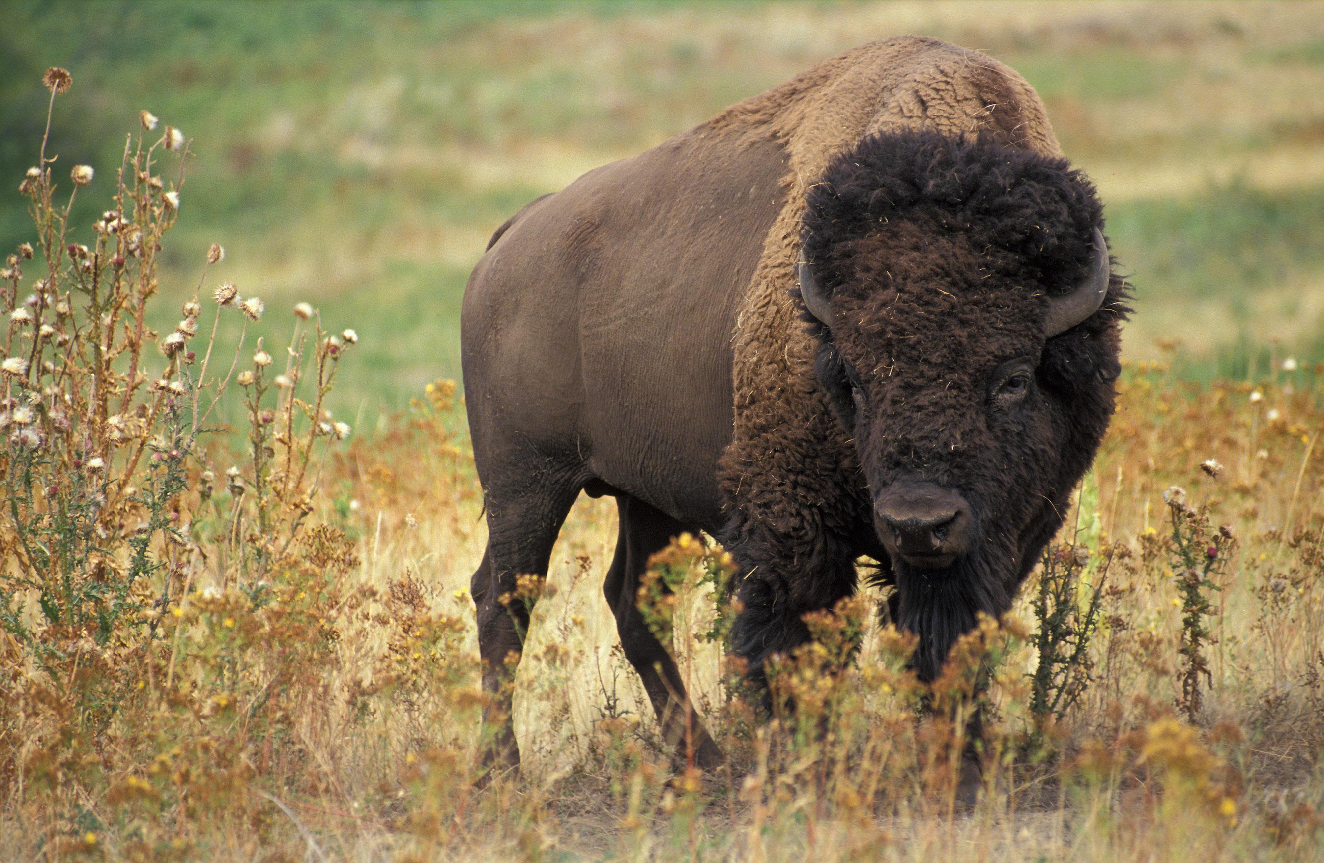 Forumaš iznad u liku životinje - Page 2 American_bison_k5680-1
