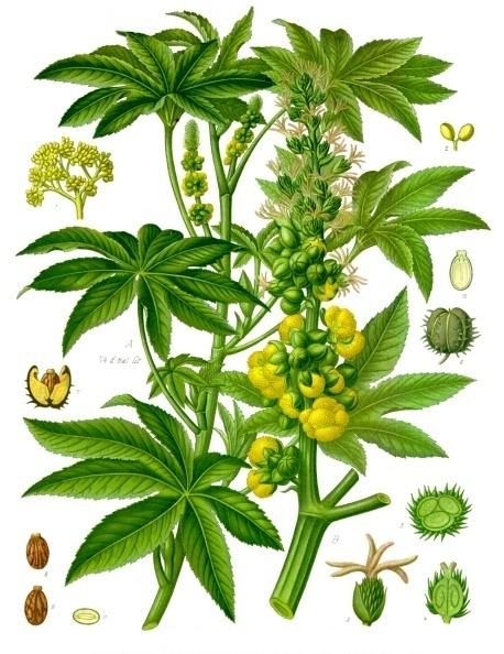 Qui suis-je  par Gin-To trouvé par MD et Blucat Ricinus_communis_-_K%C3%B6hler%E2%80%93s_Medizinal-Pflanzen-257