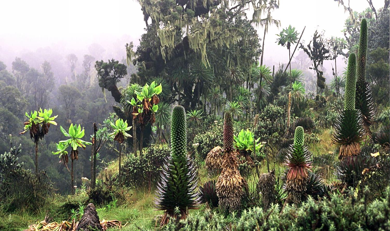 Ekologija, nauka za budućnost Ruwenpflanzen