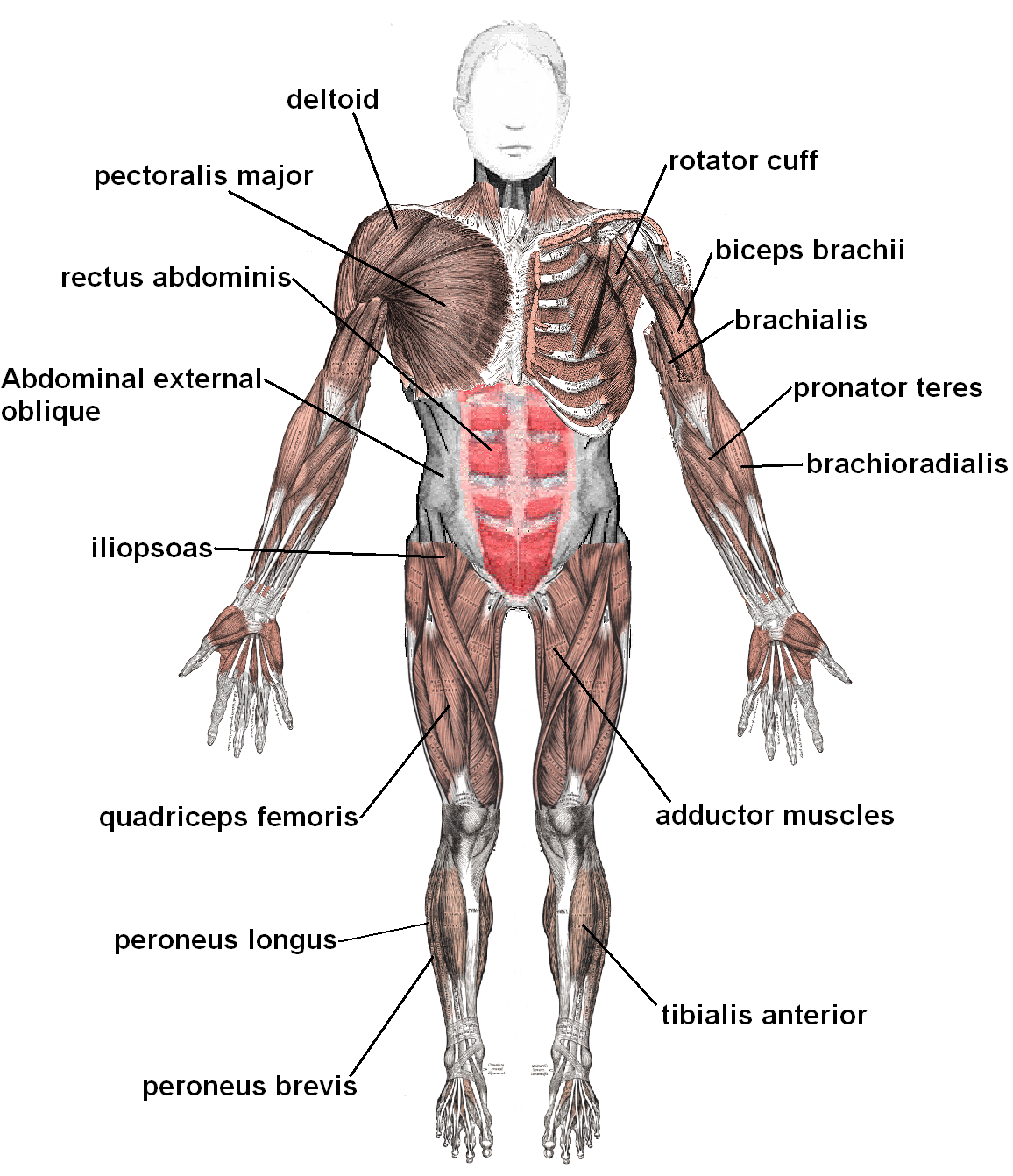 Sistemi Muskulor Muscles_anterior_labeled