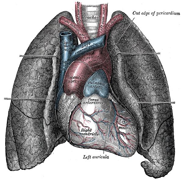Théorie foireuse mais amusante - Page 3 Heart-and-lungs