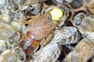 Bees Bienenkoenigin