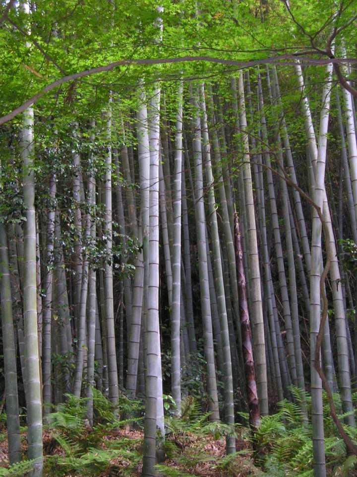 Kviz znanja - Page 3 Bamboo_forest