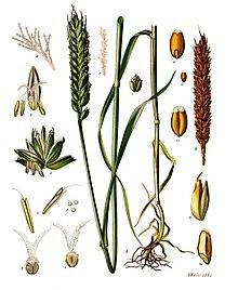 الثروة الزراعية في العالم الإسلامي 220px-Triticum_aestivum_-_K%C3%B6hler%E2%80%93s_Medizinal-Pflanzen-274