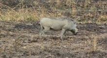Бородавочник 220px--Two_Warthogs_Phacochoerus_africanus_grazing_in_Tanzania.ogv