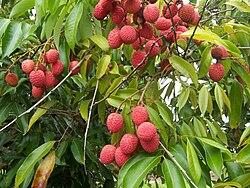 Relier entre eux 250px-Litchi_chinensis_fruits