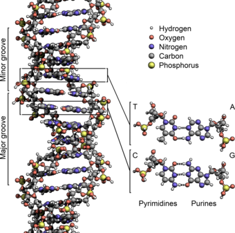 Quantum entanglement holds and repairs together life's blueprint 340px-DNA_Structure%2BKey%2BLabelled.pn_NoBB