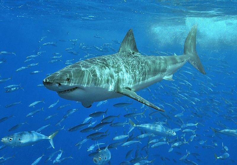 Akvaryum Köpek Baliklari 800px-White_shark