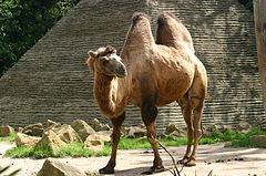 الابل واسماؤها ملف شامل  240px-Bactrian_Camel