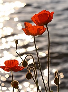 gone but not forgotten  220px-Poppies_in_the_Sunset_on_Lake_Geneva