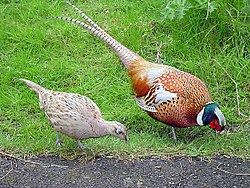 [xRR] La Mitch & Fish Rando Raid - 29/06/2008 - Page 3 250px-Male_and_female_pheasant