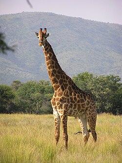 Žirafe 250px-Giraffe_standing