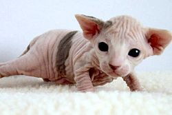 Really Cute Cats 250px-2_week-old_Female_Sphynx_(Suki)