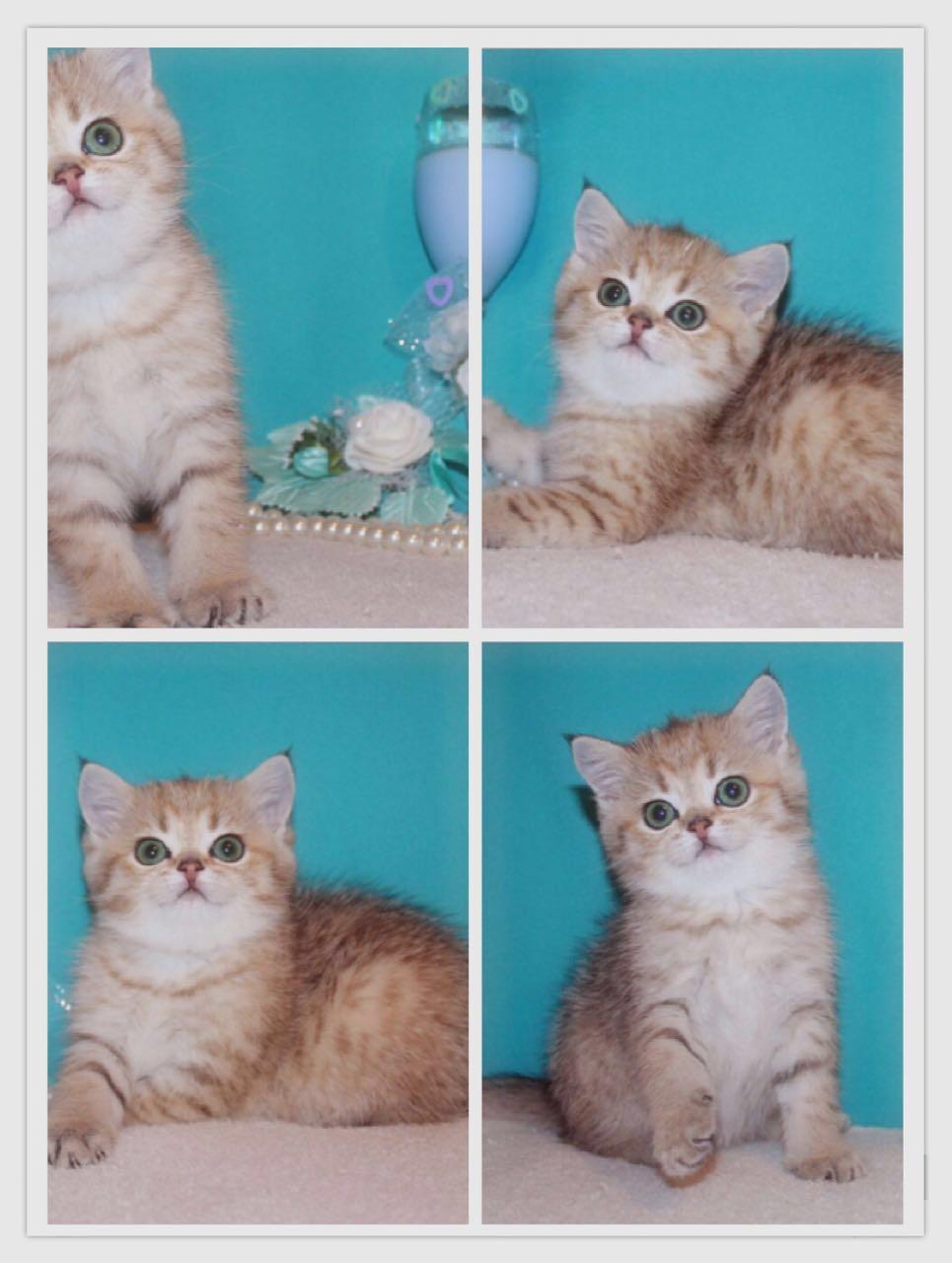 قطط صغيرة للبيع 2021 - منتدى بيع وشراء قطط الشيرازي والهملايا A4c05228503cfdbbd4e759ea3d3ed423
