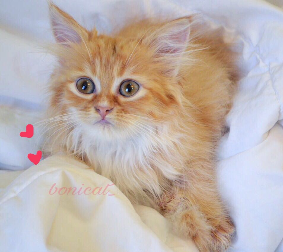 قطط صغيره للبيع فائقة الجمال 2020 981c0f8636bc1b7ab673c7a7f7320ce9
