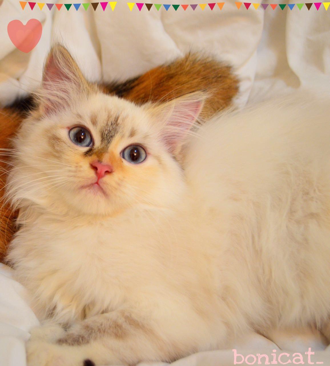 قطط صغيره للبيع فائقة الجمال 2020 D832fab1599ce25ea15a6e9aaa210248
