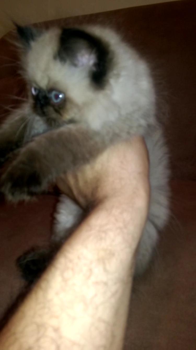 قطط هملايا بيكي فيس شوكليت صغير للبيع 4d515ad6141f78ef14ffbf9adca15cb2