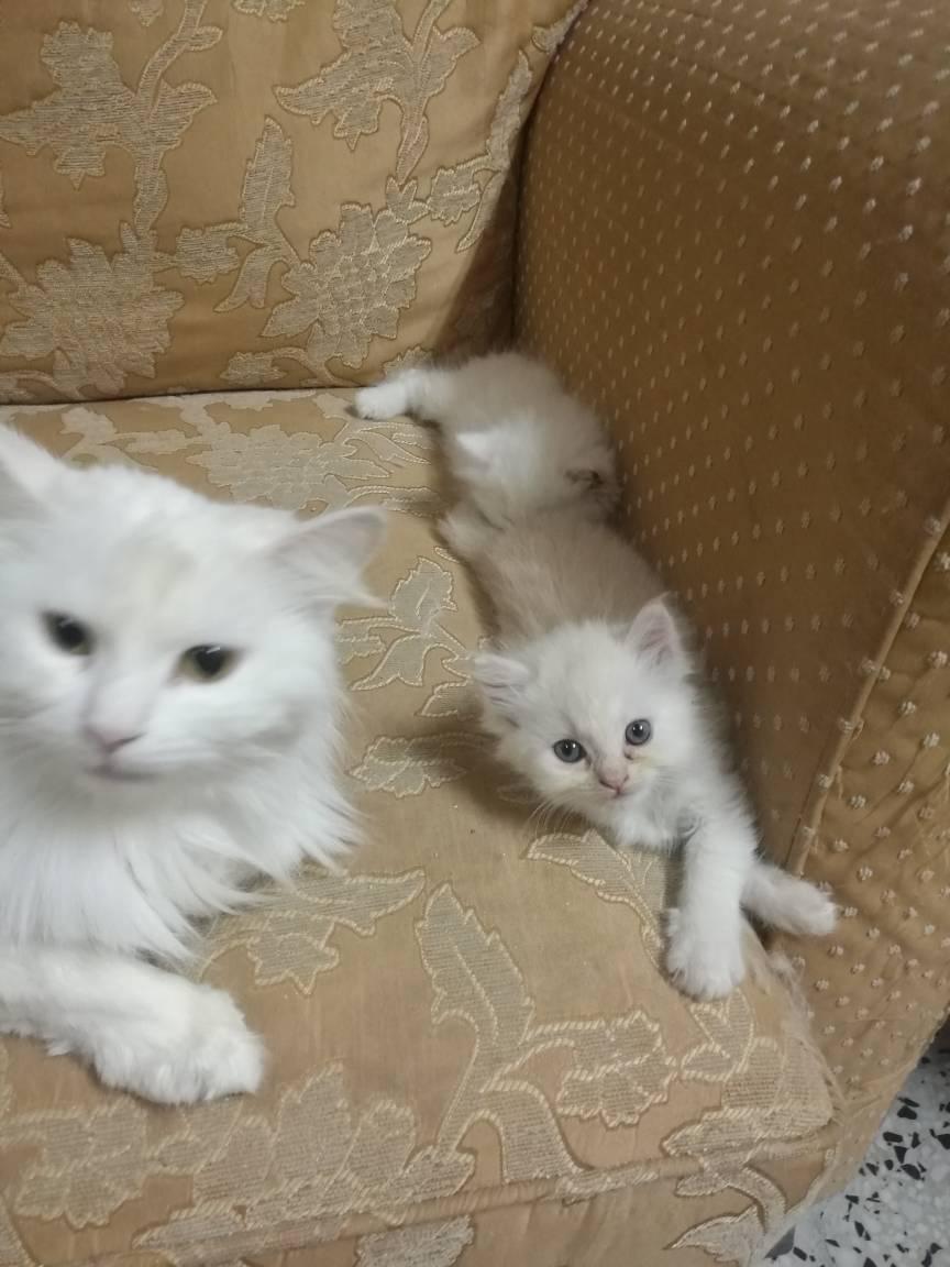 قطط شيرازي صغيرة للبيع بيضاء كيوت 66e872d47f814d19bb86108a5c5d2c32