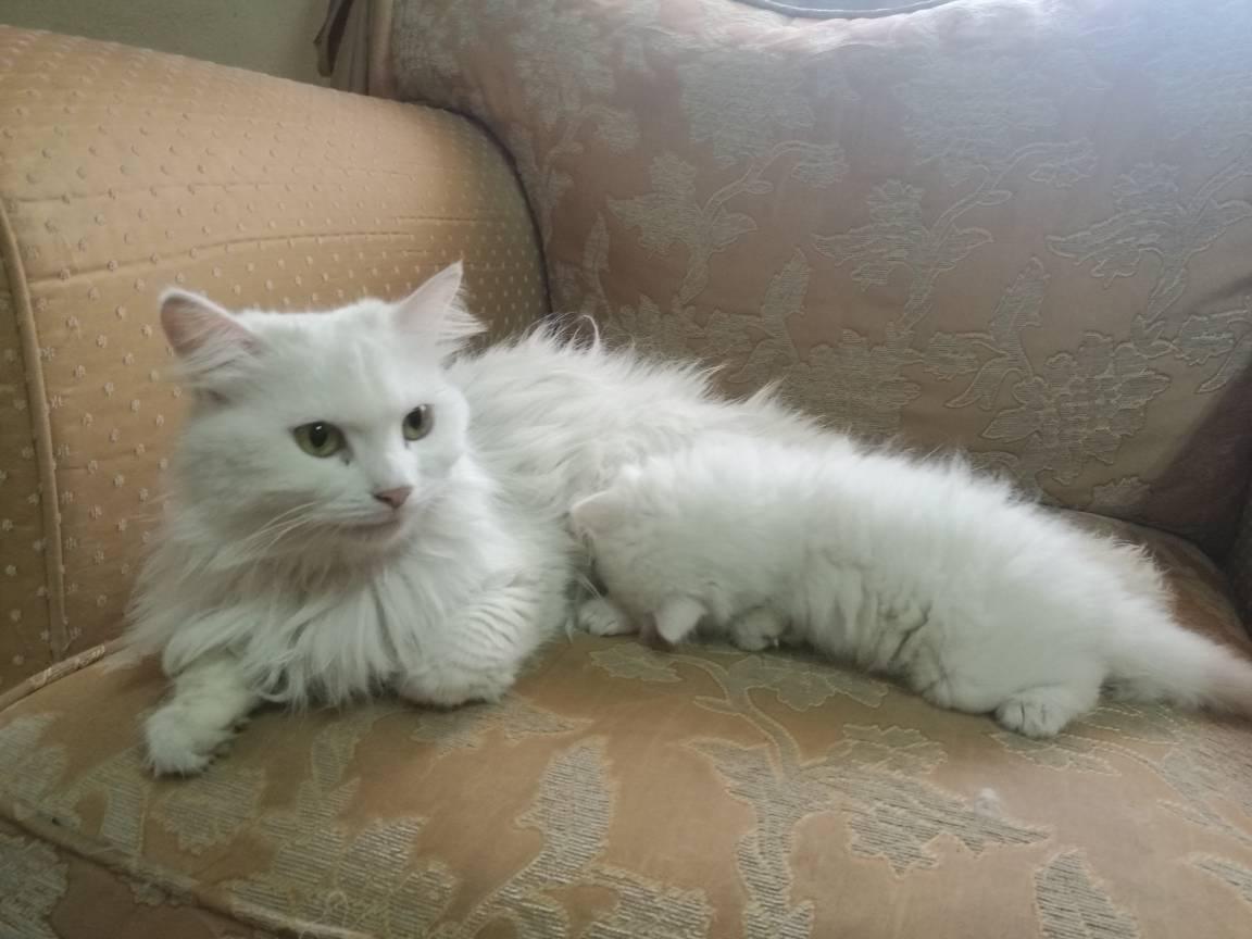 قطط شيرازي صغيرة للبيع بيضاء كيوت C7751f4481474d7f7a91354f85972788