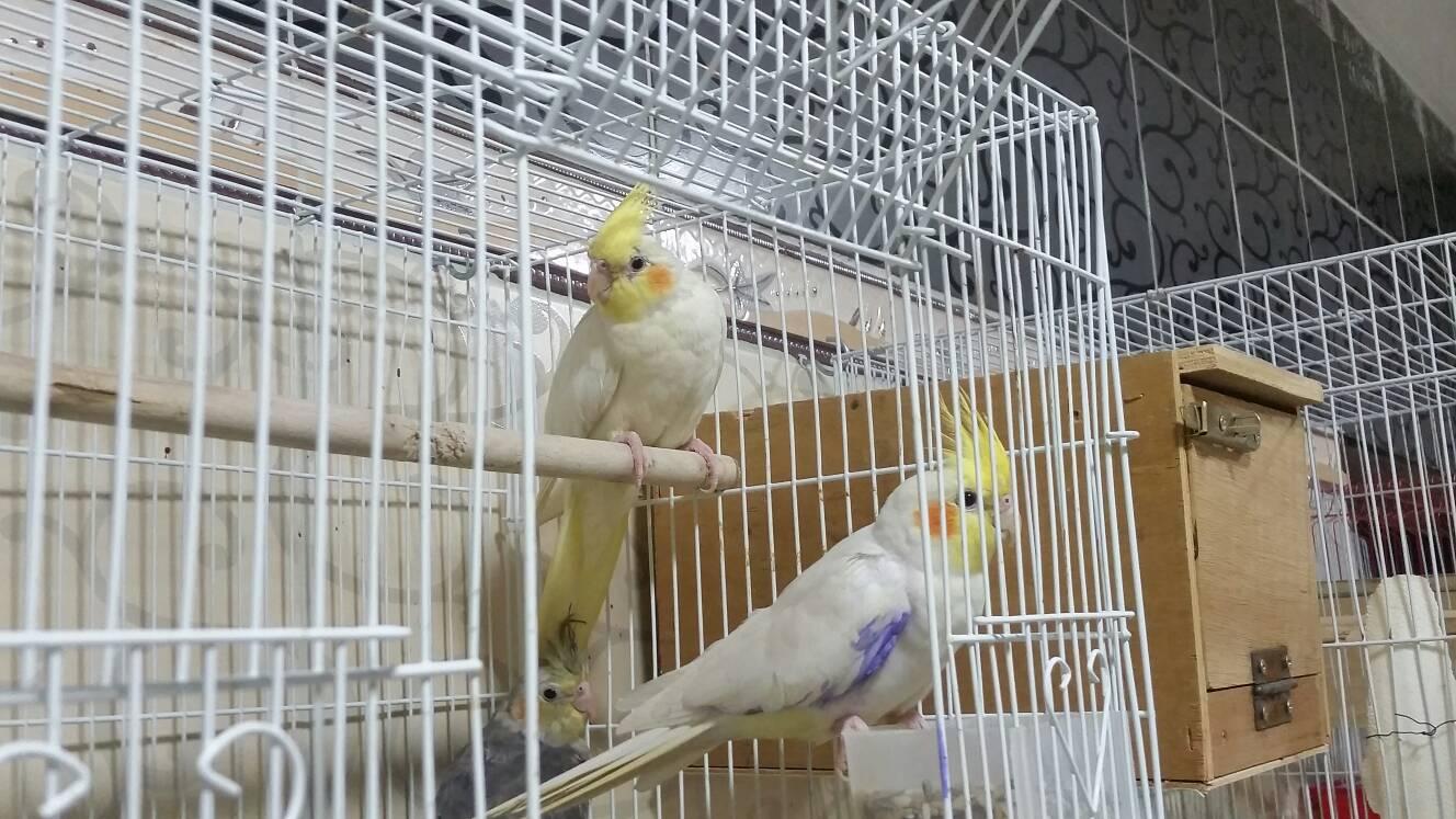 طيور كروان ولاتينو للبيع 38d15766375a559a212792c993a00a8b
