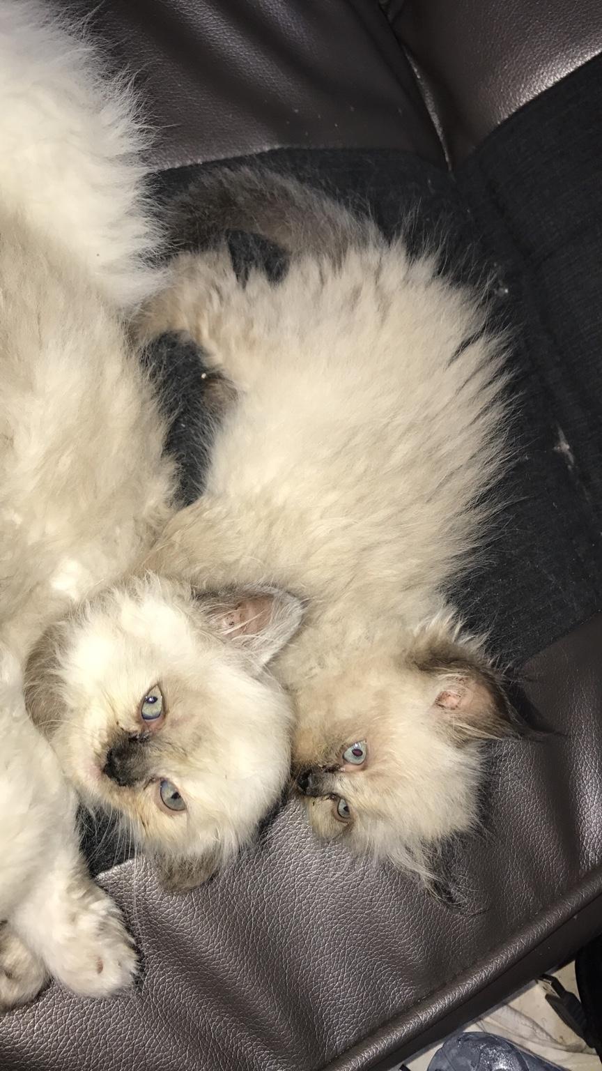 للبيع قطط هملايا بيكي فيس عمر شهرين للبيع 2021 7aabfa6ee6d03a9bb86a590ffe913427