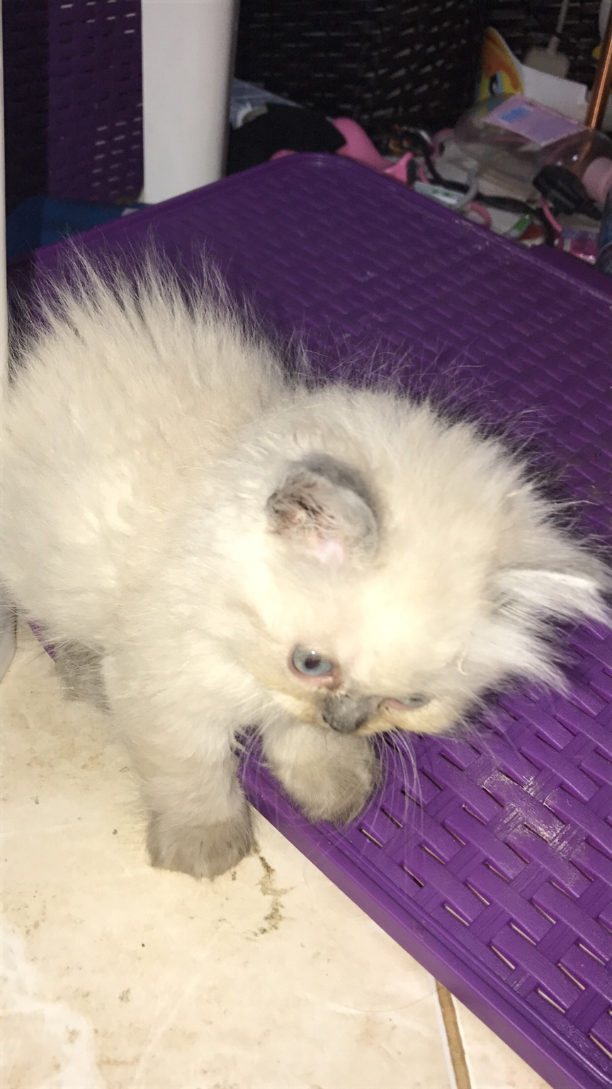 للبيع قطط هملايا بيكي فيس عمر شهرين للبيع 2021 7b3fa369e71d24198979e62e11b1f66c