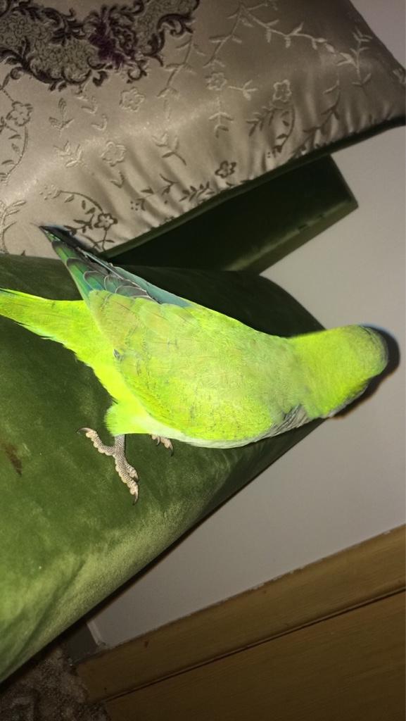 طير كويكر للبيع اخضر اللون جميل A7a71167f44660c71332c7ff2764c83e