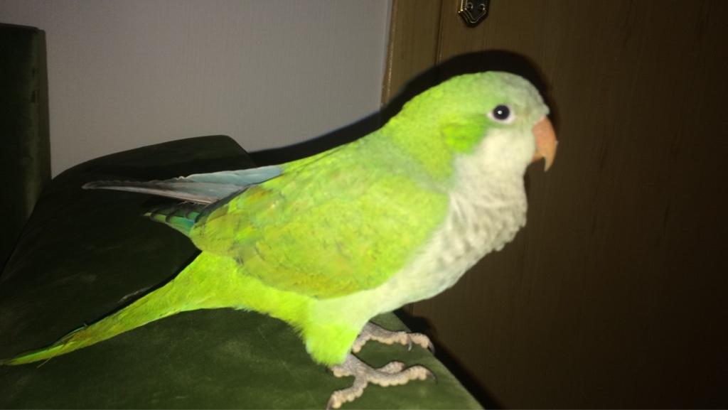 طير كويكر للبيع اخضر اللون جميل D2fb37d830c0ef99377d74d1bb155a87