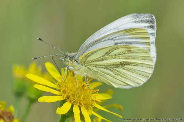Sưu tập Bộ cánh vảy 3 - Page 4 Green-veined-White-Butterfly-on-Ragwort-Flower-e1547858005113
