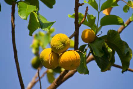 que suis je -Ajonc - 8 novembre trouvé par Martine  13495549-santol-fruits-sur-l-arbre