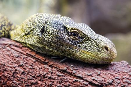 Hola me llamo Alejandro y procedo del poderoso imperio grox  12607172-lagarto-verde-descansando-sobre-un-tronco-mirando-muy-de-cerca