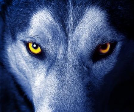 La Bellezza degli Animali 13551955-beautiful-eyes-of-a-wild-wolf