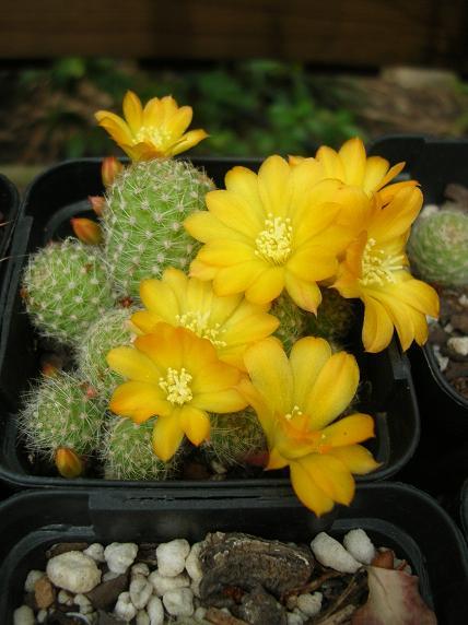 spring cacti flowers - Page 8 Rebutia