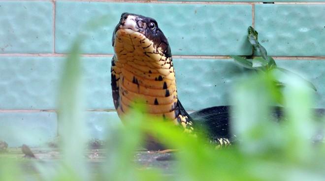 Bốn con hổ mang chúa dài hơn 3 mét thấy người là tấn công 1418262564_2