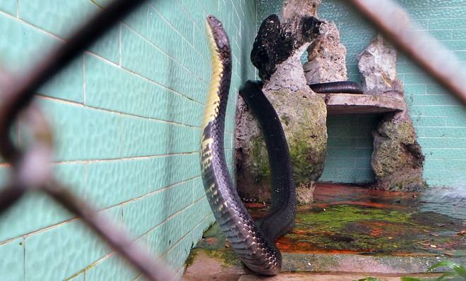 Bốn con hổ mang chúa dài hơn 3 mét thấy người là tấn công 1418262564_4
