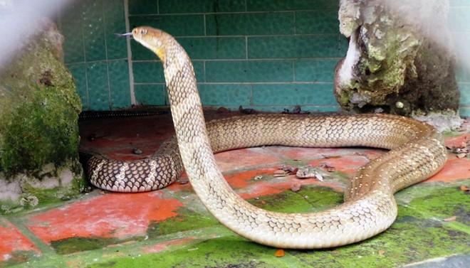 Bốn con hổ mang chúa dài hơn 3 mét thấy người là tấn công 1418262565_8