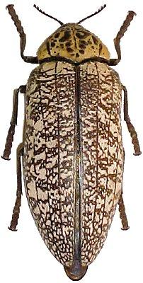 [Capnodis miliaris]Capnodis Turquie Aaata