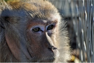 Monkeys Get Autism-like Reactions to MMR & Other Vaccines In University of Pittsburgh Vaccine Study Monkey-vaccines-autism