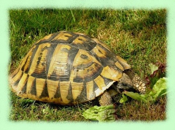 la tortue Twfaijy1