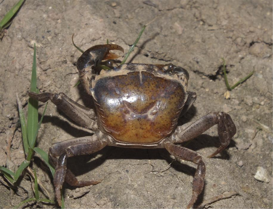 Пресноводные крабы Ю.-В. Азии Crab10