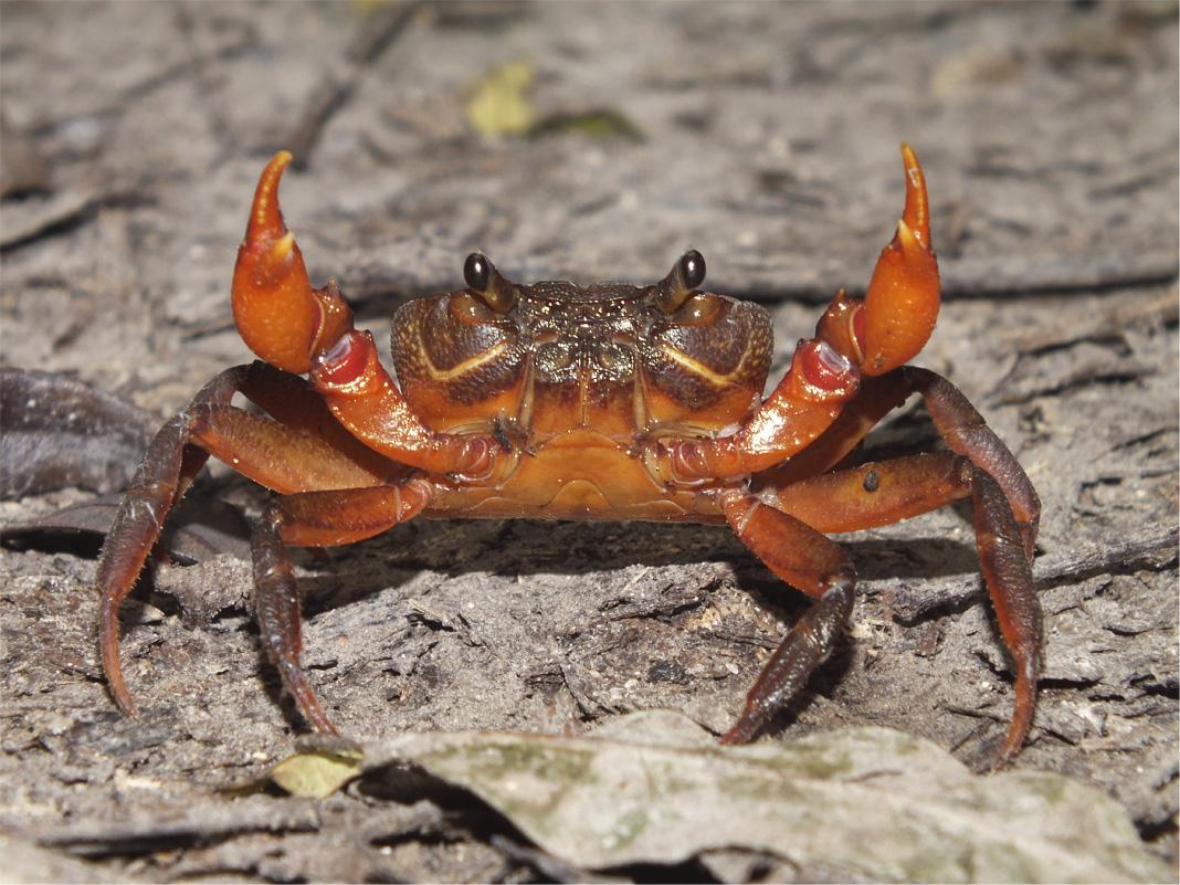Пресноводные крабы Ю.-В. Азии Crab2a