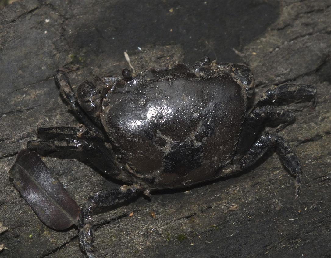Пресноводные крабы Ю.-В. Азии Crab6