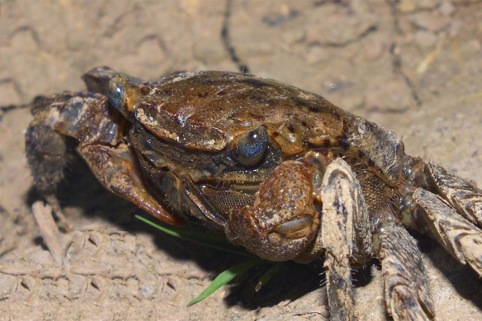Пресноводные крабы Ю.-В. Азии Crab7