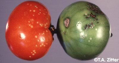 ملف كامل عن زراعة الطماطم  - صفحة 3 Tom_BactFS2