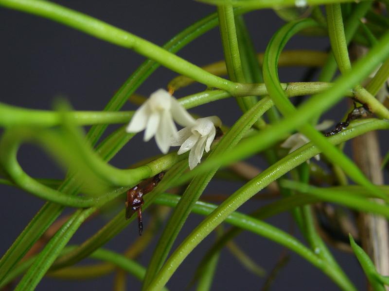 angraecum subulatum DSC00664