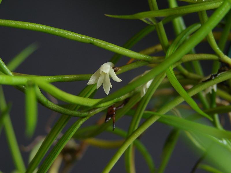 angraecum subulatum DSC00666