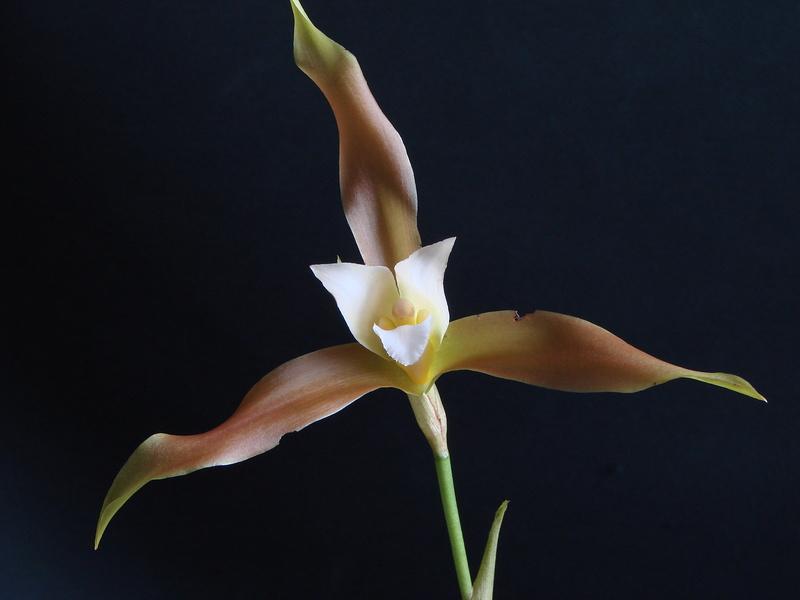 Lycaste schilleriana fm gigantea DSC00839