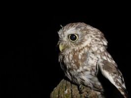 oiseau de ptit loulou le 14décembre trouvé par Martine  Cheveche_PNR_3-266x200