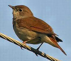 Scrabble 7: Les oiseaux de nos jardins et campagnes Rossignol