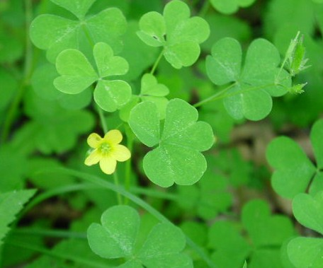 Wild Edible Plants: Cure Cancer, Depression, And High Blood Pressure (Video). Yellow-sorrel1